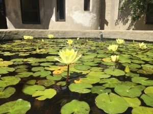 Blooming lotus in one of the gardens near the guest homes of Lummis House.